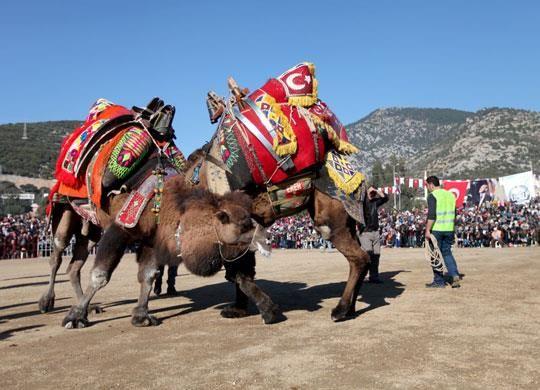 """200 Yıllık Gelenek Konacıkta Sürdü     Konacık Belediyesi, bölgenin en büyük deve güreşleri organizasyonlarından birini gerçekleştirildi. Hazırlanan özel alanda, aralarında engelli vatandaşların da bulunduğu yaklaşık 10 bin kişi güreşleri rahatlıkla izlerken, 120 pehlivan deve, kıyasıya güreşti. Hayvan hakları gereği, güreş alanına değnek, sopa alınmadı. Başkan Mehmet Tosun, """"Bu gördüğünüz develerle yaşayarak geçti hayatım."""