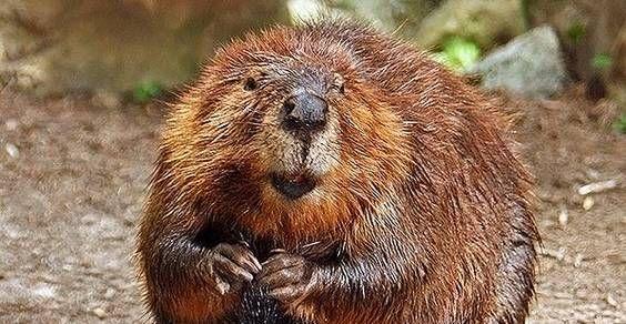 Cambiamenti climatici: ecco come i castori proteggono il pianeta http://www.greenme.it/mangiare/vegetariano-a-vegano/10935-piatti-sneak-veg-spiaggia-pic-nic