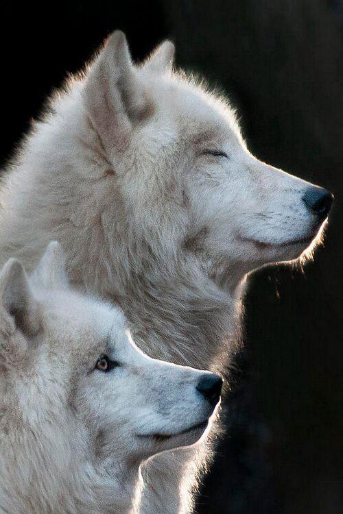 2 lobos blancos