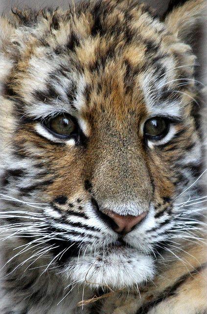 Siberian Tiger Cub <3 - www.savetigersnow.org - tigertime.info/the-crisis - www.savewildtigers.org/ - www.panthera.org/node/1399