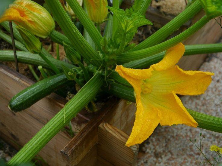 Jeune courgette avec deux fleurs