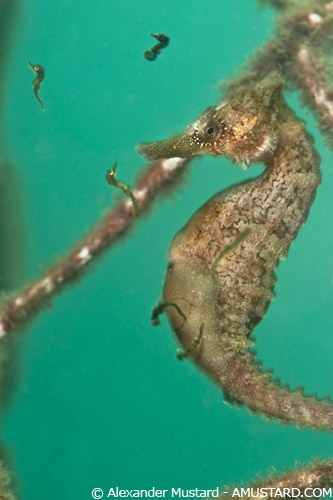 Male Seahorse giving birth