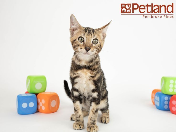 Petland Florida Has Bengal Kittens For Sale Interested In Finding Out More Abou Bengal Kittens Ideas Bengal Kitten Bengal Kittens For Sale Kitten For Sale