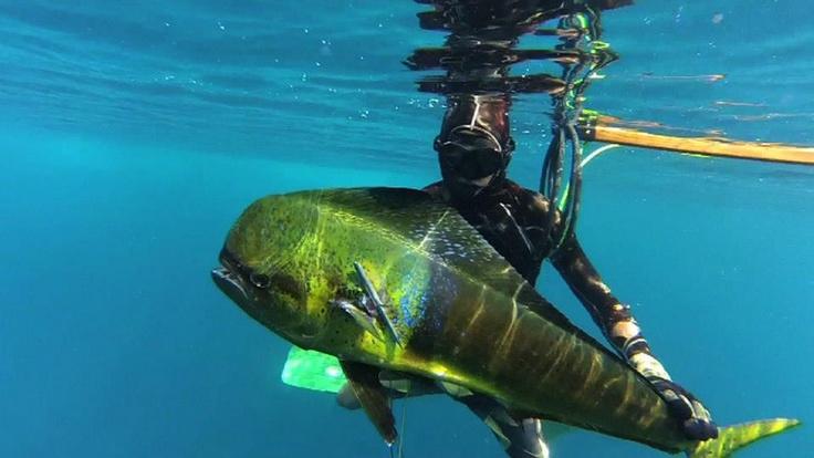 Spearfishing time!! #brianconley #spearfishing #ocean #blueocean #mahimahi #pawa #pawasurf #surflifestyle