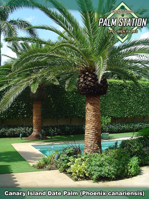 California Date Palm   CONTACT A GROUNDWORKS SPECIALIST