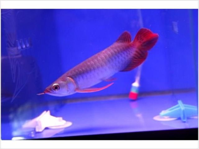 Super Red Arowana Fish For Available For Sale