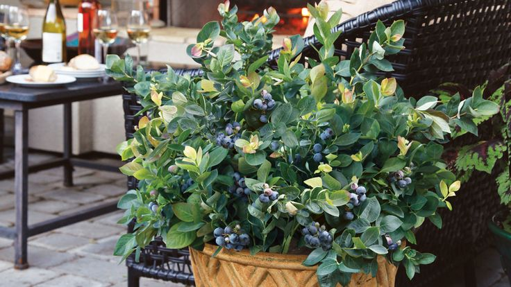 Growing blueberry in containers Tips tricks for growing healthy edible blueberries Monrovia Gardens