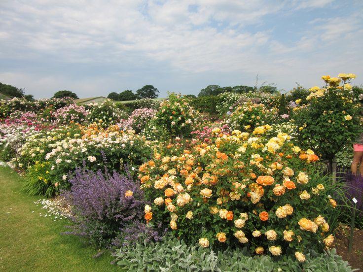 фото цветников с розами остина