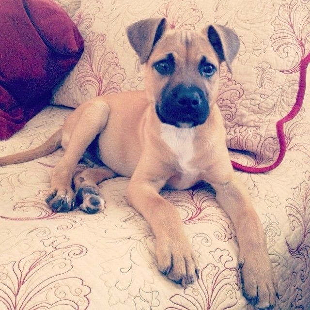 Florida Black Mouth Cur puppy <3