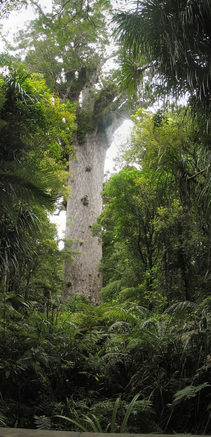 "Tane Mahuta, ""God of the Forest"", largest living Kauri tree in New Zealand -  Waipoua Forest, Northland, New Zealand"