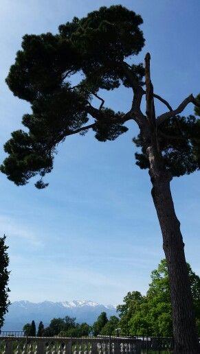 Albero di pino Castello di Masino