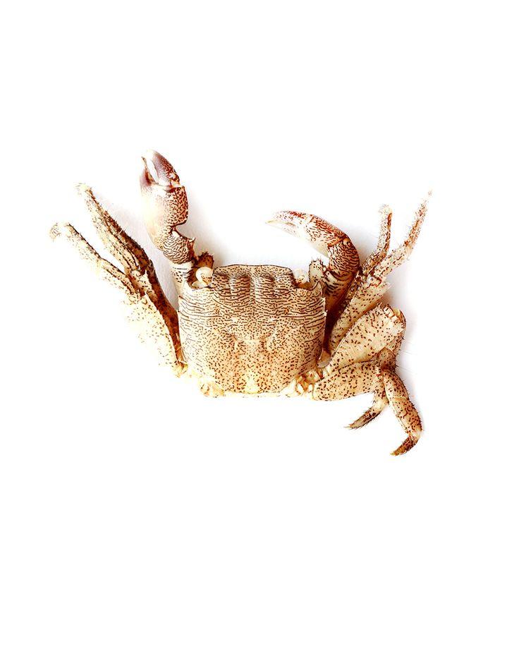 crab | STILL (mary jo hoffman)