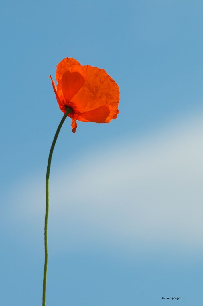 poppy against the sky http://mpimpao.com