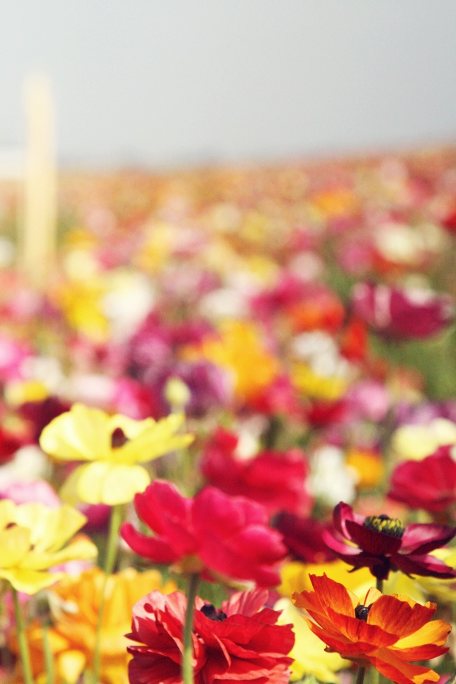 Carlsbad flower fieldsWild Flower, Life Wisdom Quotes, Friends, Dreams, Berlin, Columns, Carlsbad Flower, Flower Fields, Summer Flower