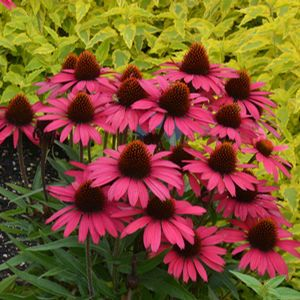 Garden Crossings Online Center Offers A Large Selection Of Coneflower Plants