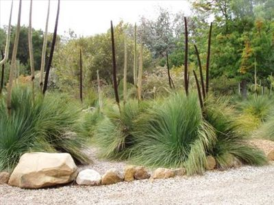 Going to be planting a couple of these in my auzzie garden :) Xanthorrhoea preissii