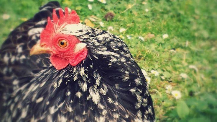 The accidental chicken owners — Chickens are good for the soul — Medium