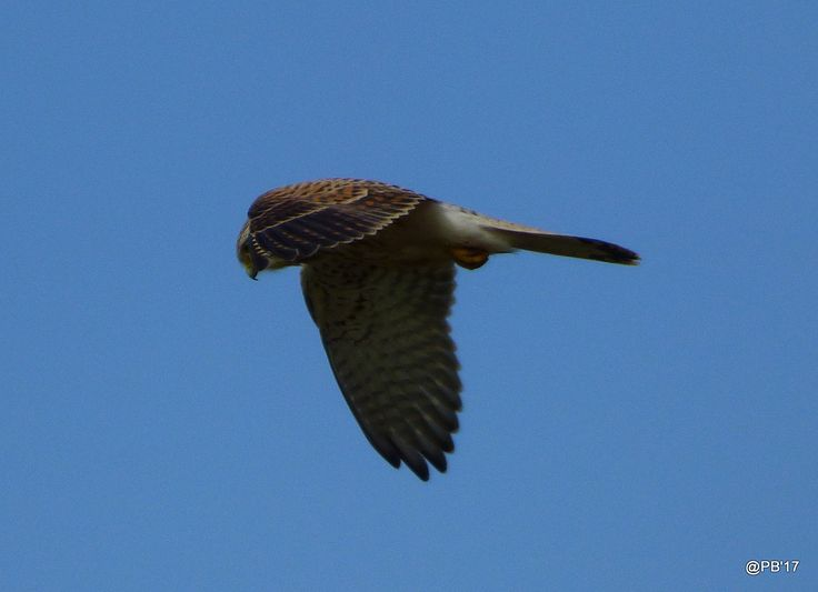 https://flic.kr/p/SWZY1W | Kestrel Falco tinnunculus  (Female)