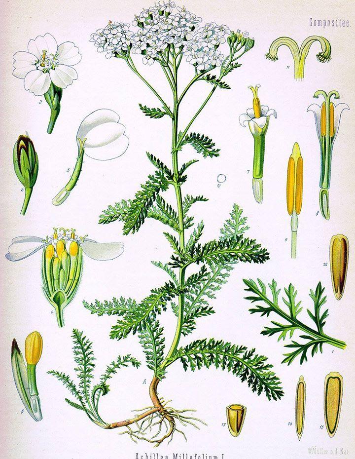L'Achillée millefeuille ou la Millefeuille (Achillea millefolium L.) est une espèce de plante herbacée vivace de la famille des Astéracées. La plante possède plusieurs noms vernaculaires : he…