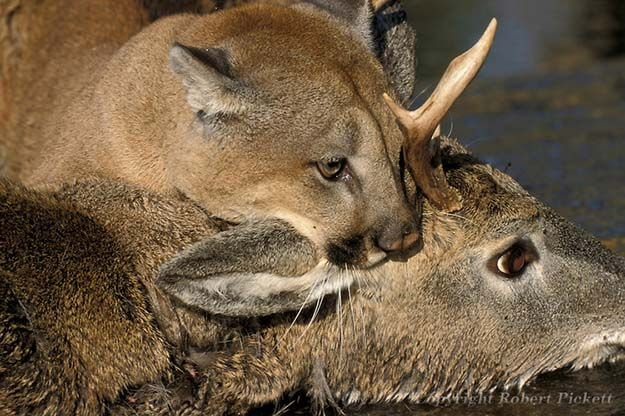Hunting Habits | 10 Remarkable Facts About Mountain Lions