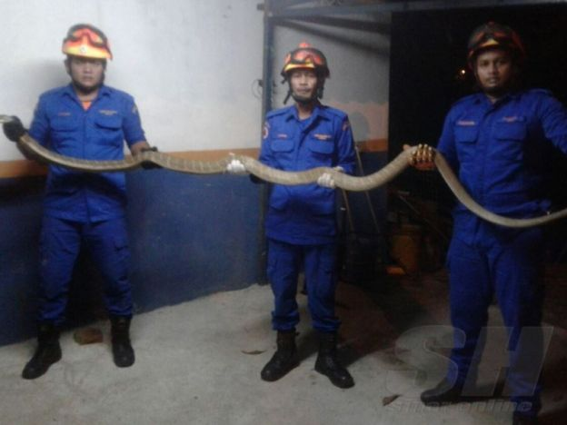 Kecoh tedung selar masuk rumah ikut tingkap   Tiga anggota APM Marang yang ditugaskan berjaya menangkap ular tedung selar di rumah keluarga terbabit di Kampung Gelegoh Marang.  MARANG  Keadaan tenang sebuah keluarga sedang berehat di halaman rumah bertukar menjadi kecoh dengan kehadiran seekor ular tedung selar yang dilihat cuba memasuki rumah melalui tingkap bilik di Gelegoh di sini malam tadi. Salah seorang ahli keluarga terbabit Rohaya Mohd Nor 31 yang ditemui berkata kehadiran reptilia…