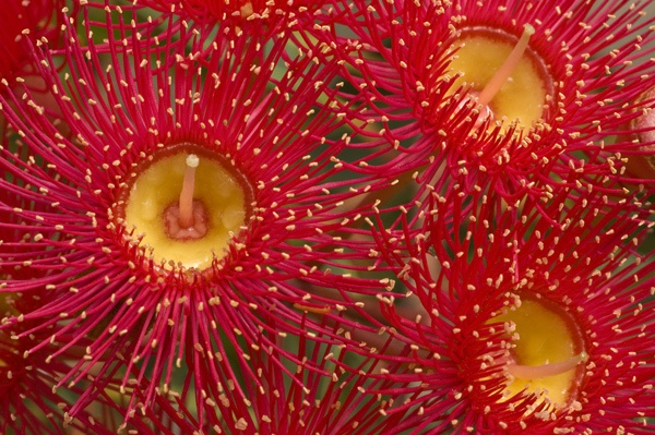 ~~ Flowering Gum ~~ i thought these looked like little fireworks when I first saw them in Australia! Love them.