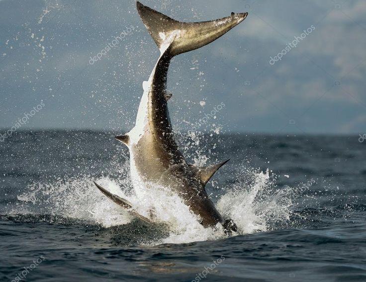 depositphotos_72895265-stock-photo-jumping-white-shark.jpg (1023×790)