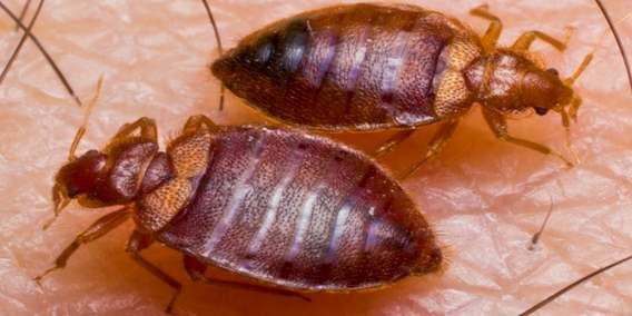 Bed Bug Twin Feeding Jpg Bed Bug Bites Bed Bugs Treatment Termite Control