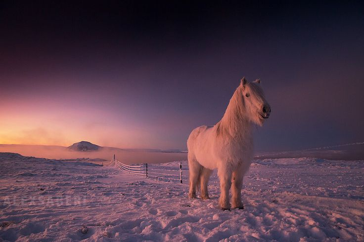 "horsiie: "" Icelandic horse at sunset by Alex Saberi """