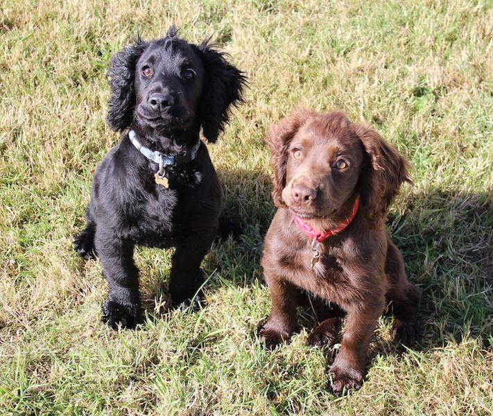 Puppy gun dog training hertfordshire