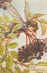 Sureau noir (Fr), Elderberry (GB),Sambucus nigra (L) -  Cicely Mary Barker