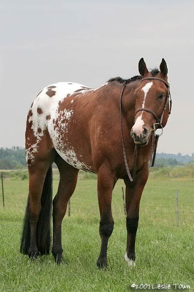 Chestnut Blanket Appaloosa