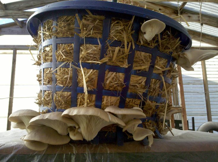 Grow oyster mushrooms in a laundry basket.