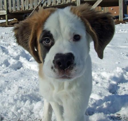 How to Care for a Saint Bernard: The Saint Bernard dog is the symbol for rescue and loyal service to humans. The coat is white with red, brindle or black markings. The head is massive, and the body is powerful -- Saint Bernards can weigh up to 200 pounds. They have a gentle personality, however, and are good with children. They are known for their sense of smell which helped with their rescue efforts in deep snow.