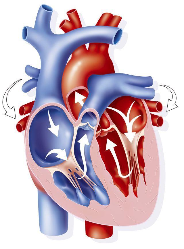 ¿Sabías que el corazón tiene cuatro válvulas?: El corazón tiene cuatro válvulas que regulan el flujo sanguíneo.