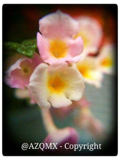 Serie de fotografias de flores en miniatura tomadas en California, USA  #Tampico, #rosa, #rosas, #rose, #roses, #winter,  #vinter, #invierno, #Faldo,  #Dog, #bollywood, #india, #rajasthan, #budha, #buda, #Castle, #halloween, #Avion, #cafe, #coffee, #kahve, #kavhe, #China, #japan, #asian, #korea, #nicaragua, #tea, #cuba, #arab, #uae, #saudi_arabia, #muslim, #ramadan, #turk, #kurdish, #iranian, #persian, #pakistani, #hindi, #mexican, #morrocan, #magrebi, #sephardim, #israel, #jewish, #judio…