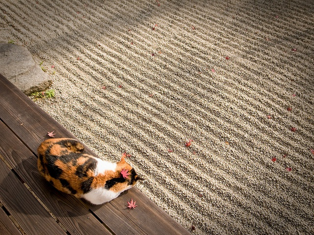 I'm always in the mood for Zen... Japanese cat at Konpukuji Temple, Kyoto, Japan: Cats, Cat Lounges, Konpukuji Temples, Zen Cat, 今日は Caturday, Japan Cat, Caturday です, Autumn Photography, Calico Cat