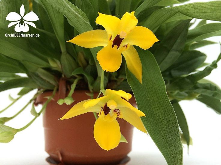 Promeneae Hybride  #orchids #Orchidee #Orchideen #OrchIDEENgarten #orquídea #orquídeas #orchidées #orchidée #orchidej #orchideje #orkid #orkidéer #Ausflugsziel #Gruppenangebote #nature #naturelovers #iloveorchids #loveit #Blumen #colourful #colours #orchi