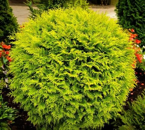 "Golden Globe Dwarf Arborvitae Thuja occidentalis 'Golden Globe'   This American arborvitae cultivar is a dwarf, dense, evergreen shrub with a rounded, globular form. Soft yellow, scale-like foliage in flat sprays. Urn-shaped cones to 1/2"" long mature in autumn to reddish brown. Most often seen as a 2-4 foot high & wide shrub, although it may reach a height of 6' after 70 years. A wonderful foundation plant, specimen or hedge.  full sun z-2-8"