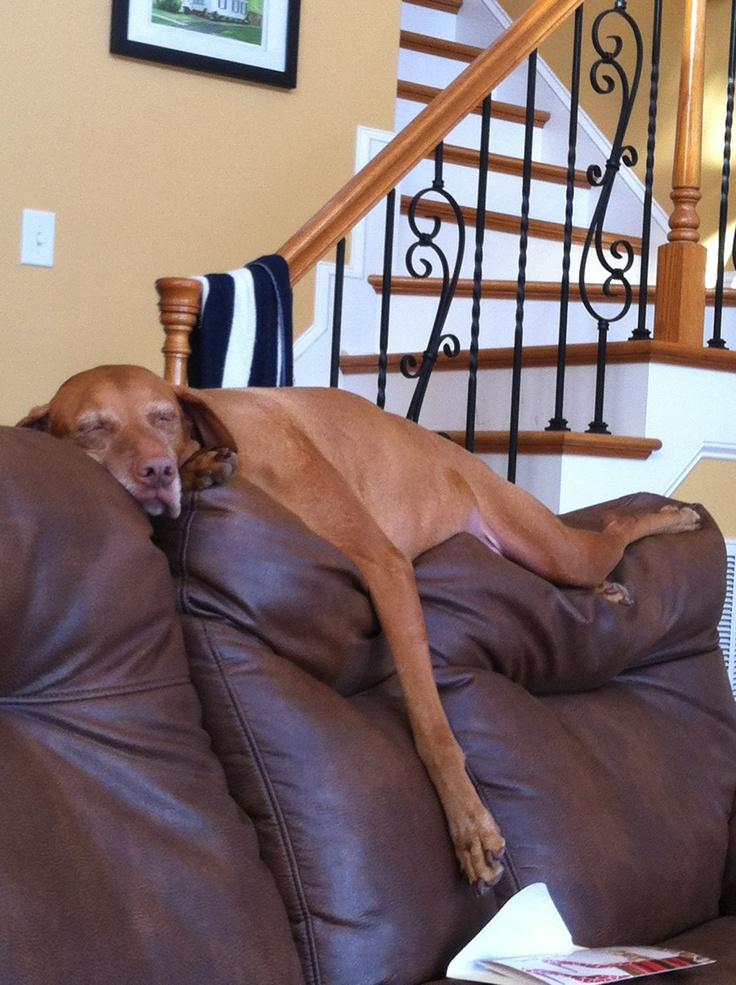 For every couch, a lazy doggie! #dogs #pets #Vizslas Facebook.com/sodoggonefunny