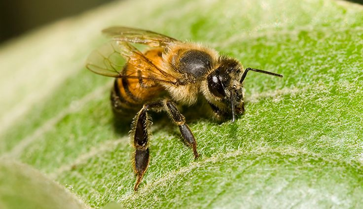 Would you know an Africanized honey bee if you saw one?