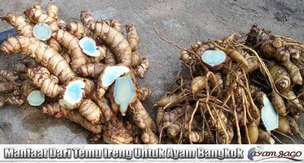Manfaat Dari Temu Ireng Untuk Ayam Bangkok Ayam Bangkok Tanaman