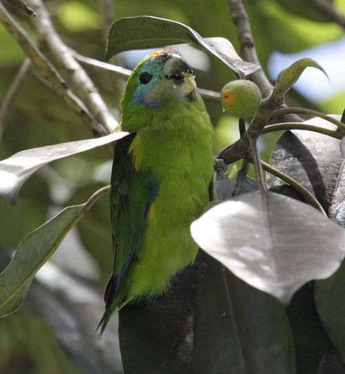 Double-Eyed Fig Parrot female (Cyclopsitta diophthalma)