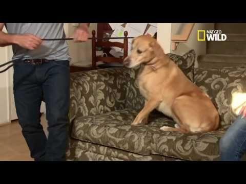 Buddy le labrador aboyeur - YouTube