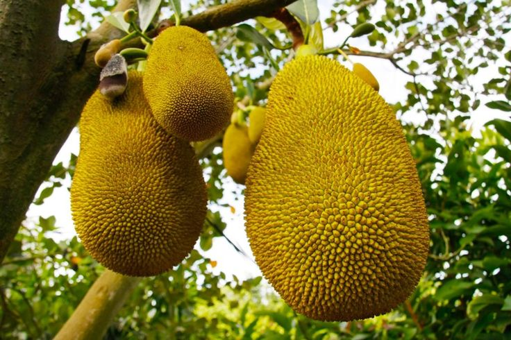 What the Heck Is Jackfruit, and Why Is It the New Meat Replacement? If you don't know jack about jackfruit, pay attention, because you're about to meet your new protein substitute.