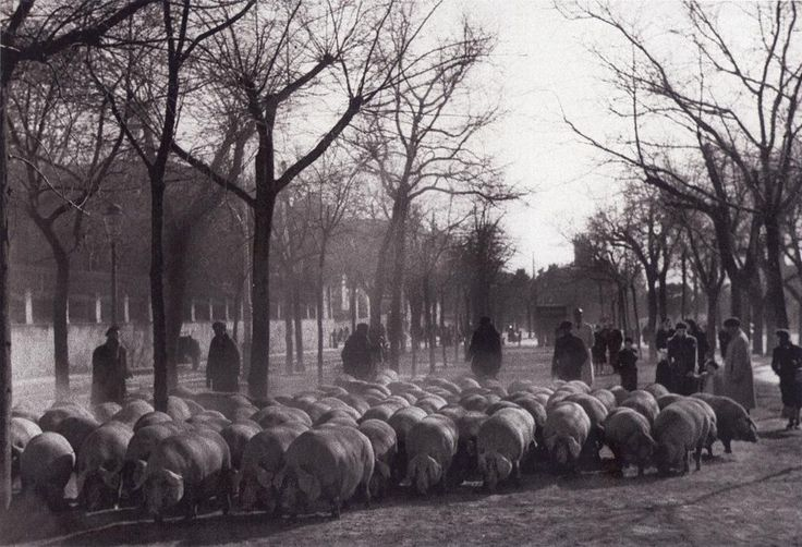Piara de cerdos en el Paseo del Prado.12 febrero 1942 (Hermes Pato)