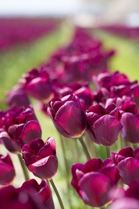 What Is the Meaning of Purple Tulips