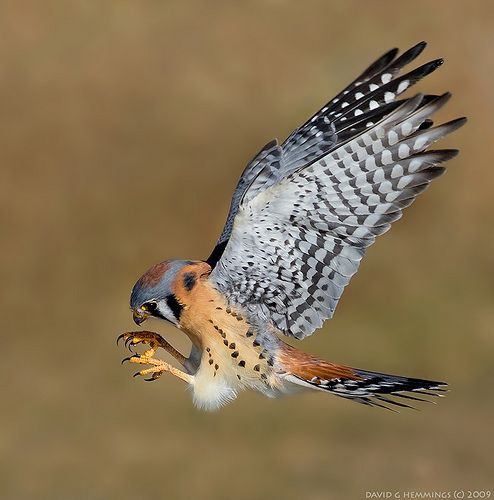 American Kestrel - photo by David Hemmings