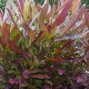Purple Hop Bush - Dodonaea Viscosa Purpurea