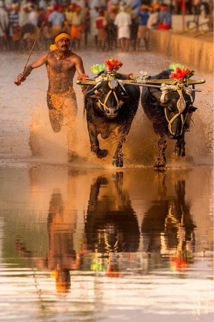 Kambala Buffalo Race, India